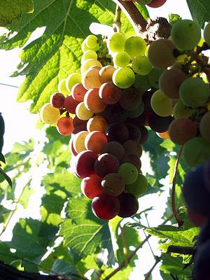 California wine grapes