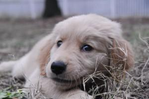 My golden retriever Tessie as an eight-week old puppy