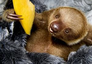 A baby two-toed sloth (Choloepus) eats fruit a...
