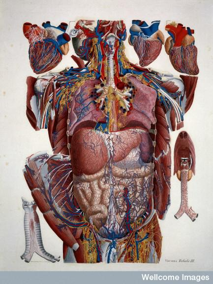 Illustration of human viscera by Paulo Mascagni.