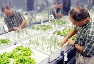 NASA researcher checking hydroponic onions wit...
