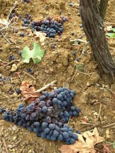 Tenuta il Poggione, like other Brunello producers in Montalcino, drops up to 50% of its fruit each harvest.