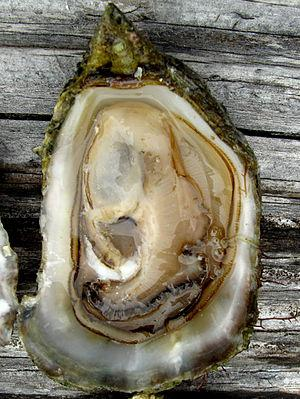 The Olympia oyster, Ostreola conchaphila, is t...