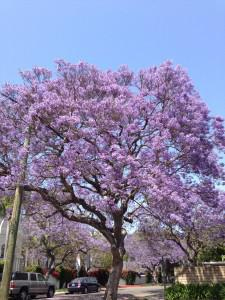 Ayers Avenue Jacarandas in Westwood. Photo by Ruth Kennison