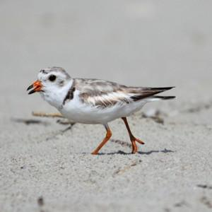 Regulation of off-road vehicles on the Cape Hatteras National Seashore in North Carolina has... [+] increased the population of piping plovers, an endangered species. But some wildlife advocates fear for their own lives. Photo: iStock