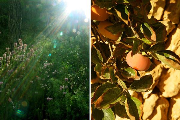Enchanted Forest and Golden Sharon Fruit