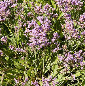English: Wild Thyme on beach at Ella Nore At l...