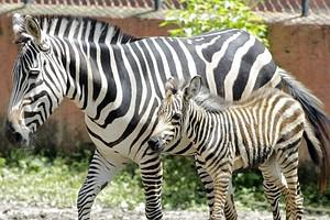 A male foal Zebra (Equus quagga burchelli) is ...