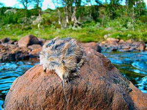 English: A dead lemming on a stone in the rive...