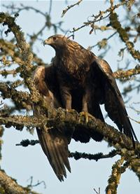 The golden eagle, seen here, is even more at risk from turbines, with ten times the number of deaths... [+] at wind farms than the bald eagle. Photo credit: George Gentry, U.S. Fish and Wildlife Service.