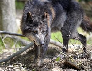 One of the six Canadian timber wolves (Canis l...