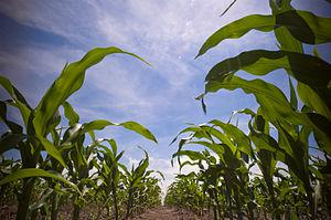English: Maize/Corn field in South Dakota, USA