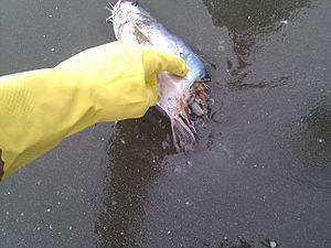Gulf oil spill. Fish on shore at Grand Isle St...