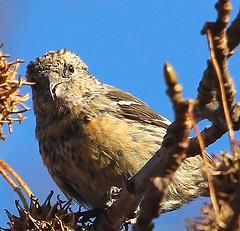 White-winged Crossbill (juvenile)