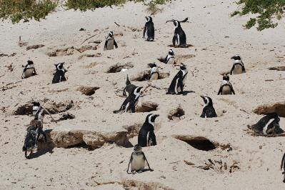 No trip to Cape Town is complete without a visit to Boulders Beach and its famous penguin colony.