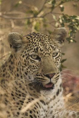 Singita is in the Sabi Sands private game reserve, famed for its leopard sightings. Photo: Singita