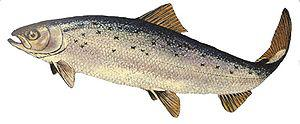 English: Atlantic salmon. Salmo salar.