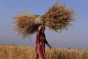 An Indian woman employed on a farm carries a b...