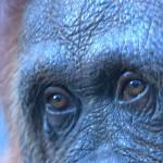 A global ethic and life force of interdependency in the eyes of an Orangutan in Borneo © M. C.... [+] Tobias
