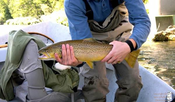 A brown trout from the Catskills