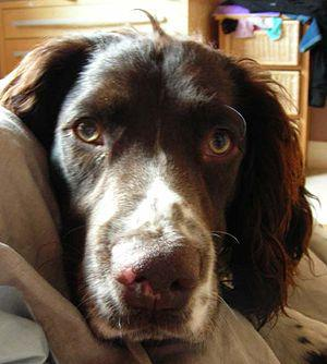 English: English Springer Spaniels make good f...