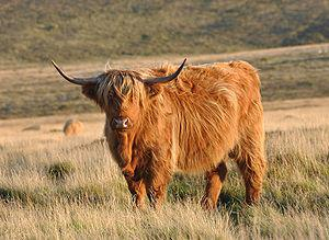 English: A Highland cow on Pupers Hill, in sou...