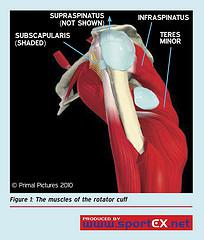 The muscles of the rotator cuff