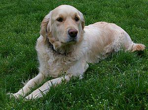A female golden retriever. Her name is Utah.