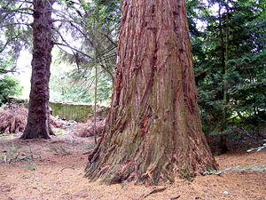 English: An American Redwood Tree at Kilravock...