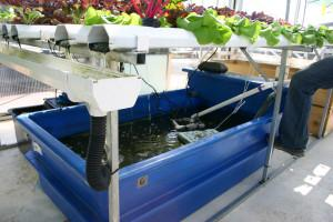 Aquaponics_with_catfish
